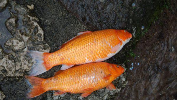 Peixe dourado movimenta a piscicultura e a pesca esportiva