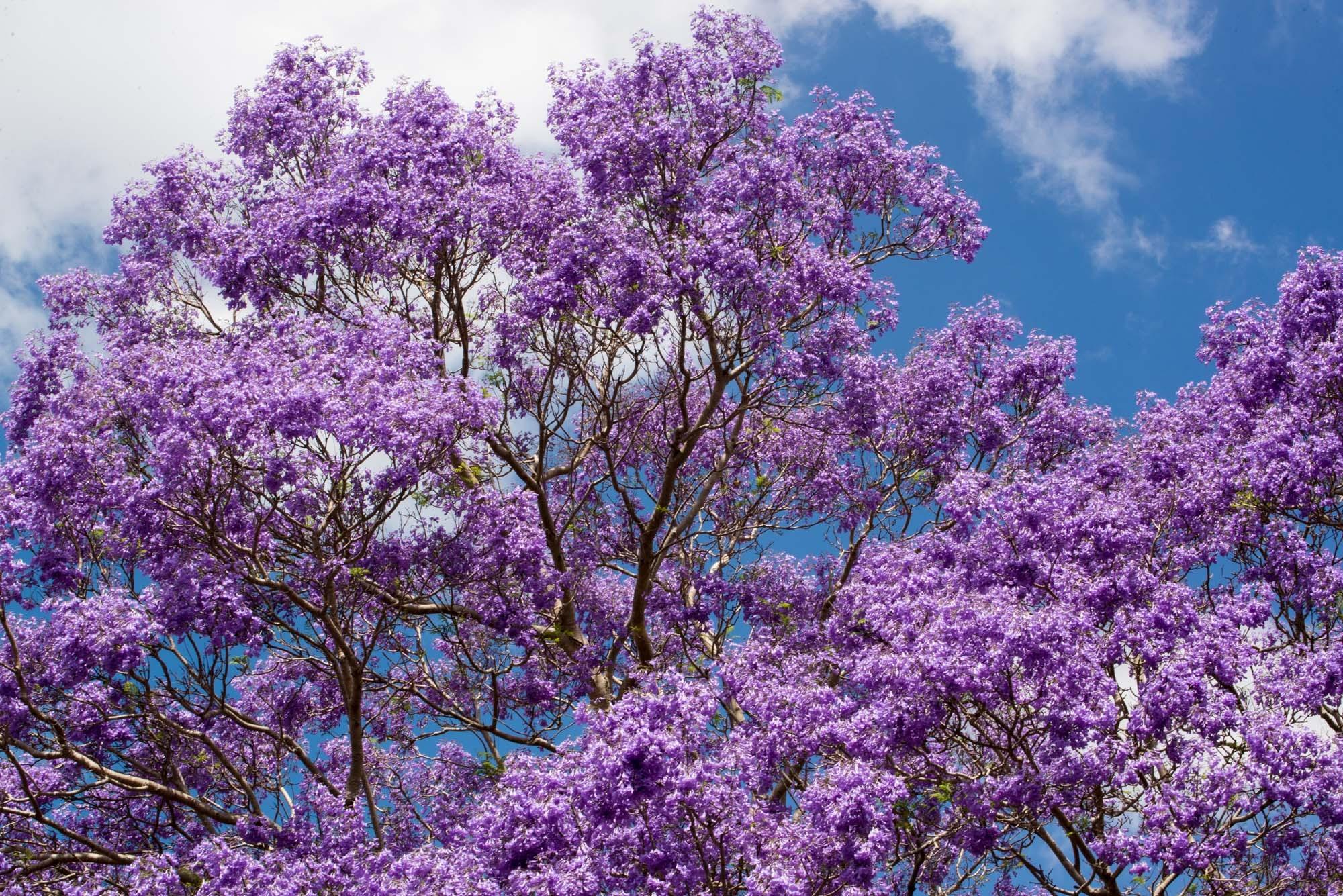 Jacarandá violeta