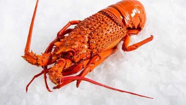 Cultivo de lagosta tem grande importância financeira no Brasil