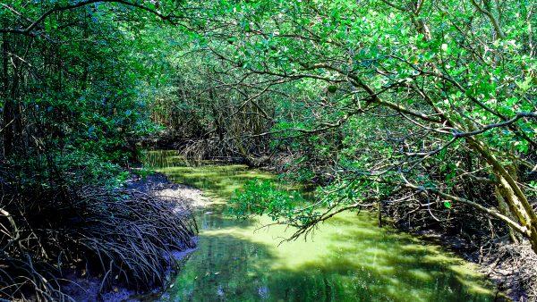 Manguezal é ambiente ameaçado em todo o mundo