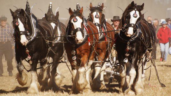 Shire é conhecido como maior raça de cavalo do mundo