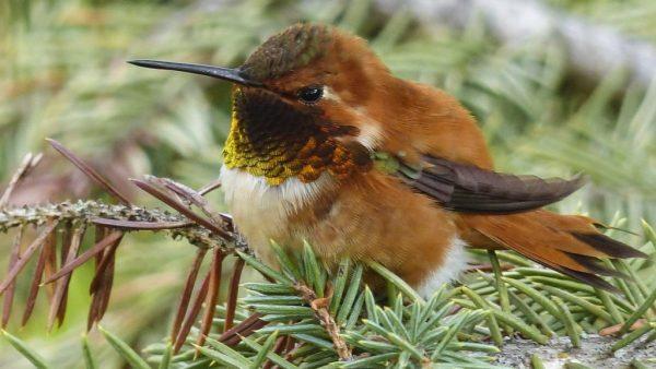 Beija-Flor, colibri ou guanambi designam o mesmo pássaro colorido