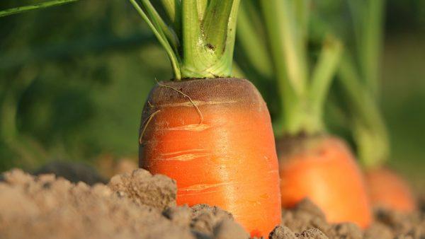 Cenoura é hortaliça cheia de benefícios e popular na mesa dos brasileiros