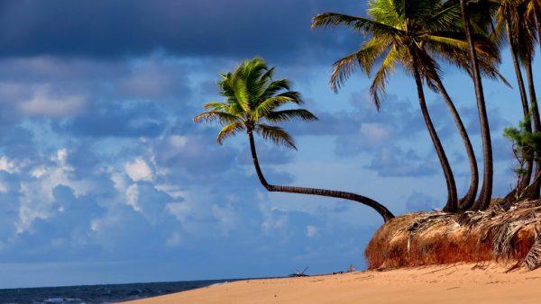 Coqueiro pode atingir até 30 metros de altura e rende boa produção