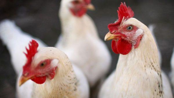 Exportação de frango cresce e torna a criação cada vez mais lucrativa