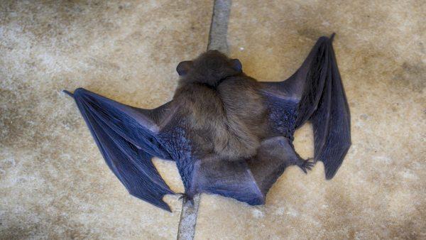Morcego é o único mamífero voador em todo o mundo