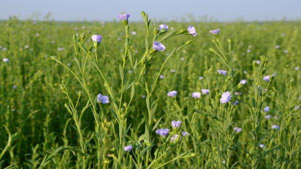 Óleo de linhaça é medicinal e também destaca utilidades na indústria