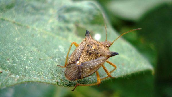 Percevejo é inseto que causa prejuízos para a saúde e a lavoura