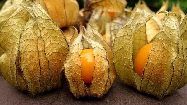 Physalis é fruta exótica da mesma família da batata e do tomate
