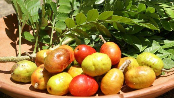 Siriguela é fruta adocicada e típica do Nordeste do Brasil
