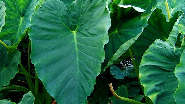 Taioba é popular em saladas e traz benefícios variados para a saúde