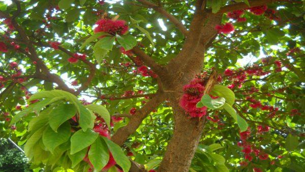 Jambu é erva de efeito anestésico amplamente usada na gastronomia