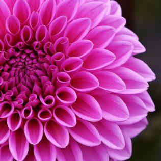 Dália é flor mexicana muito utilizada dentro do paisagismo
