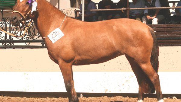 Freio de Ouro é a prova mais importante para o cavalo crioulo