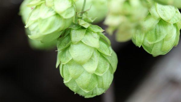 Lúpulo é planta conhecida como um dos principais ingredientes da cerveja