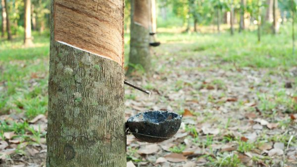 Seringueira é conhecida como árvore da borracha e destaca usos variados