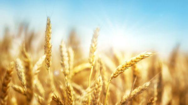 Trigo é cultivado mundialmente e base para uma infinidade de alimentos