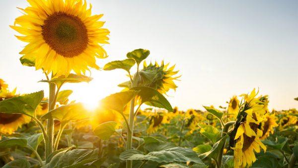 Girassol tem beleza única e mercado crescente no Brasil