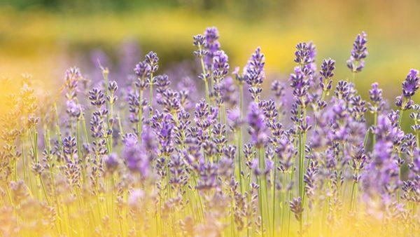 Alfazema é uma planta popular e versátil de propriedades medicinais