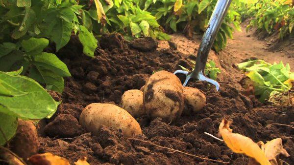 Batata é a hortaliça de maior importância no cenário agro brasileiro
