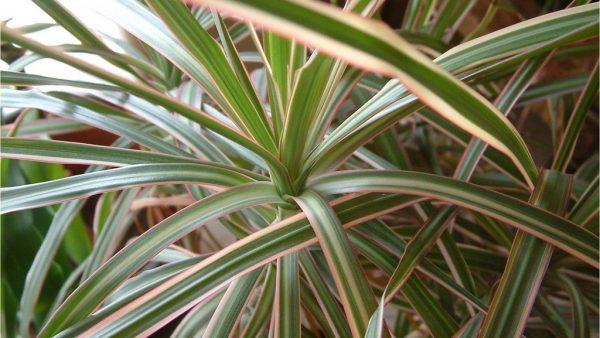 Dracena é planta estudada por cientistas pelo poder de filtrar o ar