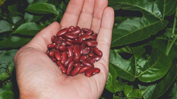 Feijão azuki é variedade nutritiva e saborosa da leguminosa