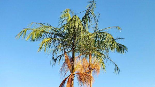 Içara (ou juçara) é uma palmeira nativa da Mata Atlântica, no Brasil