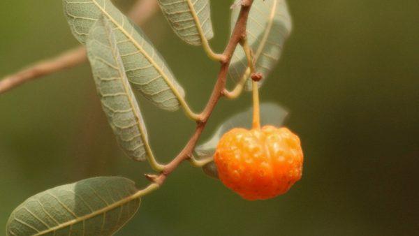 Mama cadela é um fruto do cerrado que destaca benefícios medicinais