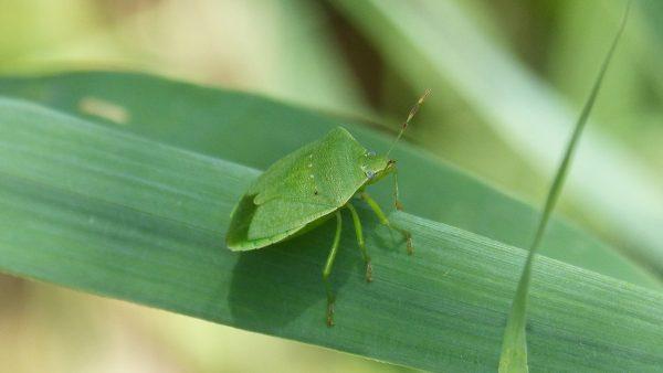 Maria fedida é inseto responsável por danos a cultura de soja