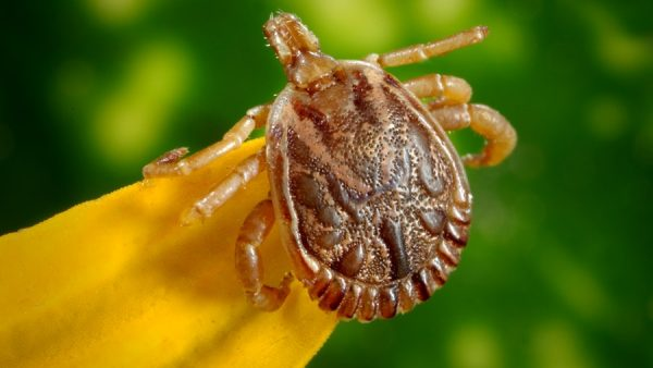 Micuim é filhote de carrapato capaz de transmitir doenças graves