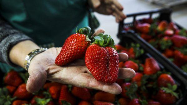 Morango tem várias formas de cultivo e é muito popular no Brasil