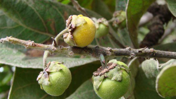 Murici é uma fruta nativa das regiões Norte e Nordeste do Brasil