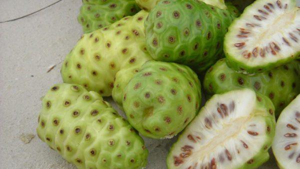 Noni é fruto bastante polêmico e exótico que é proibido no Brasil