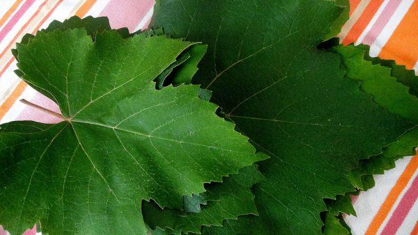 Folha de uva é utilizada na culinária e tem grande valor no agronegócio