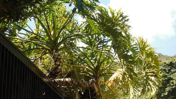 Banana de macaco é planta nativa da Mata Atlântica