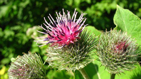 Bardana é uma planta de famosas propriedades nutricionais e fitoterápicas