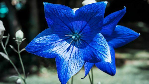 Campânula é flor em formato de sino que simboliza a esperança