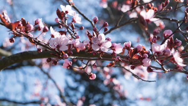 Cerejeira é originária da Ásia e tem flores celebradas em diferentes países