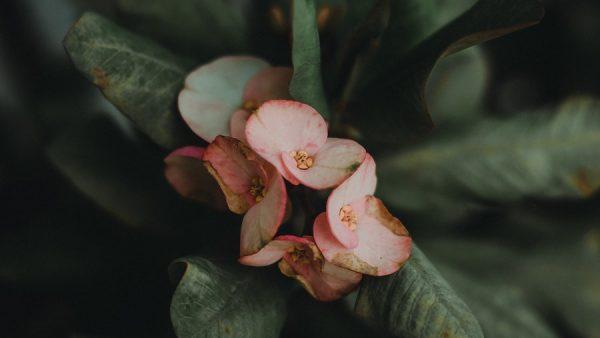 Chiquita bacana é nome de flor e de popular marchinha de Carnaval