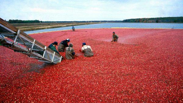 Cranberry é fruta saborosa e que ajuda a fortalecer a imunidade