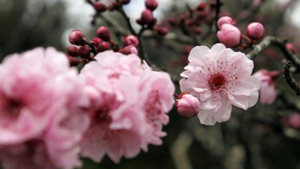Flor de cerejeira é um dos símbolos do Japão e espetacularmente bela