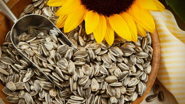 Semente de girassol apresenta diferentes usos e benefícios incríveis