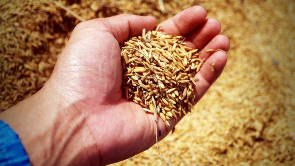 Tipos de arroz mais populares destacam benefícios importantes