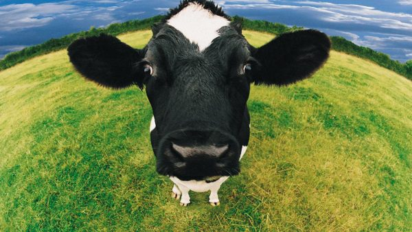 Vaca é um mamífero de grande importância no agronegócio