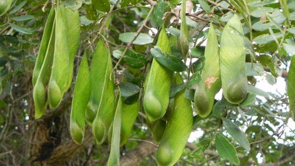 Amendoim bravo é uma árvore brasileira de fruto lenhoso