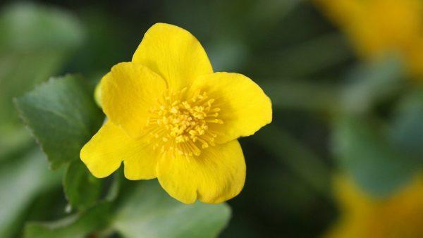 Botão de ouro (Unxia kubitzkii) é uma flor perene de origem brasileira