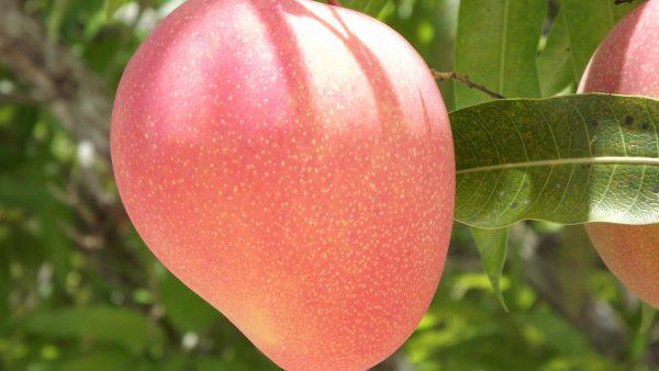 Manga rosa é um dos frutos mais saborosos da região Nordeste