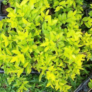 Pingo de ouro, planta ornamental, produz pequenos frutos no outono