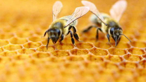 Própolis é mistura de pólen, cera e resinas vegetais que abelhas coletam