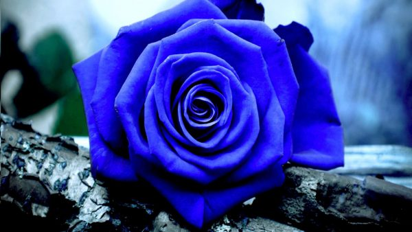 Rosas azuis são obtidas por meio de variações genéticas